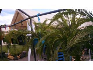 Canastas de helechos australianos y esparrago, Puerto Rico