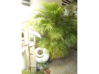 Se venden palmas diferente tamano., Puerto Rico