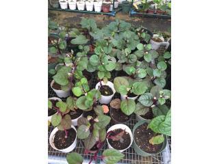 Plantas de Espinaca , Puerto Rico