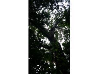 Árbol de Caoba, Puerto Rico