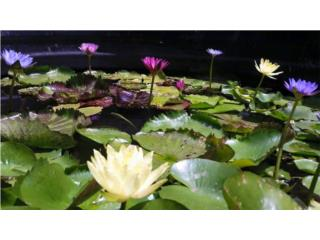Waterlilies , Puerto Rico