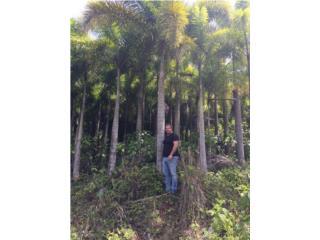 BIG FOXTAIL PALMS SALE, Puerto Rico