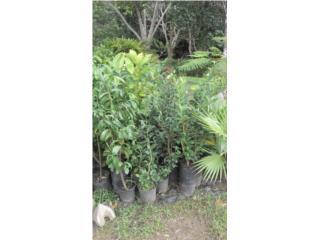 Arboles frutales, Puerto Rico