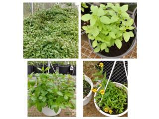 Plantas medicinales y plantas suculentas, Puerto Rico