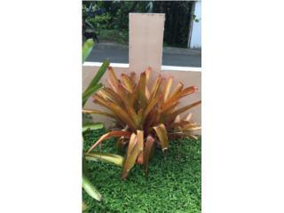 Se vende bromelias gigantes hermosas, Puerto Rico