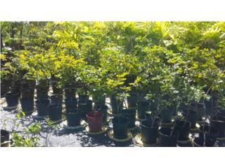 Palmas para Proyecto o Jardin $10, Puerto Rico