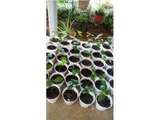 Plantulas de guanabana, Puerto Rico