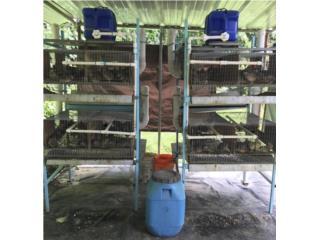 Codornices ponedoras con jaulas, Puerto Rico