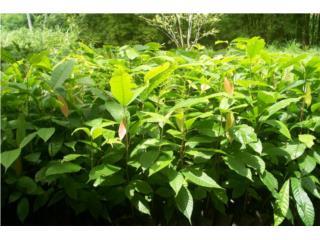 "Cacao Arboles, ""Chocolate Trees"", Puerto Rico"