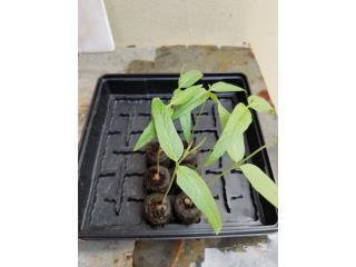 Plantas de gandul enano, Puerto Rico