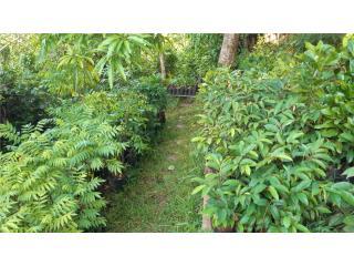 Árboles Frutales, Puerto Rico