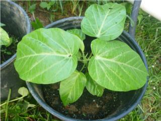 Plantas de Granadilla $5, Puerto Rico