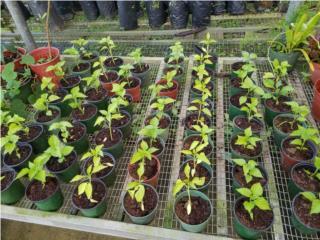 Plantitas de ajies y pimientos, Puerto Rico