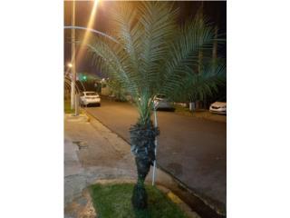 Atención!!! 3 Hermosas palmas, Puerto Rico