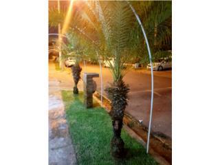 3 palmas hermosas!, Puerto Rico