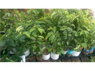 se vende árboles de Guanabanas , Puerto Rico