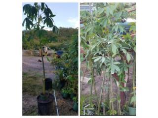 Arbolitos de Ceiba de 5 a 7 pies de alto , Puerto Rico