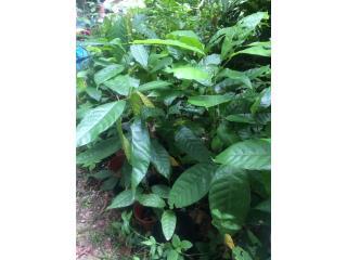 Arbolitos de Cacao 100% organicos, Puerto Rico