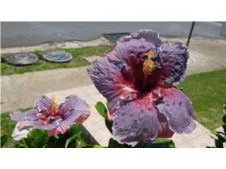 Plantas de Amapola violeta, Puerto Rico