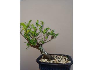 Bonsai Ficus , Puerto Rico