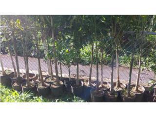 Palmas Rabo de Zorro y Cocoplumosa, Puerto Rico
