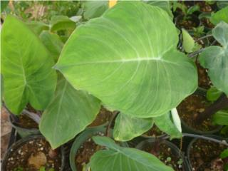 Plantas de la Exotica Granadilla $5, Puerto Rico