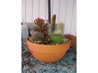Arregló de Cactus, Puerto Rico