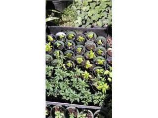 Plantas para Huertos Caseros $2, Puerto Rico