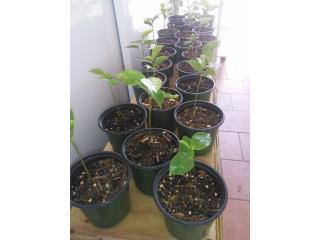 Arbolitos de Guanabana, Puerto Rico