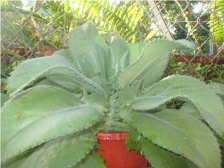 Plantas Medicinales desde $8.00 en adelante, Puerto Rico
