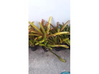 Bromelia amarilla $20 c/u, Puerto Rico