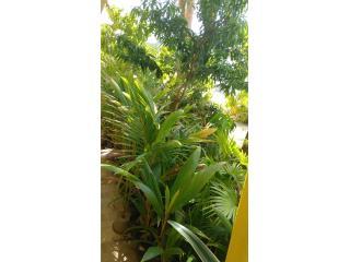 PALMAS, BROMELIAS Y ARBOLES FRUTALES, Puerto Rico
