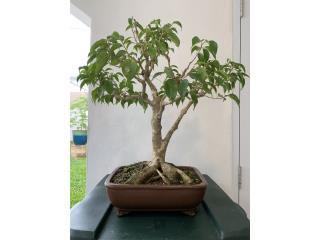 Bonsai ficus 11 años, Puerto Rico