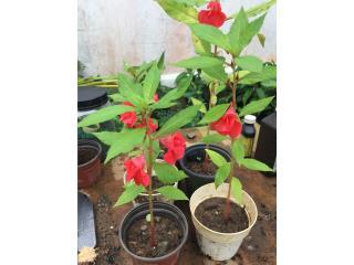 Flores ornamentales , Puerto Rico