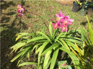 Orquideas de jardín , Puerto Rico