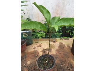 Plantas Parcha morada, Puerto Rico