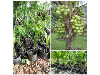 Palmas de coco enana filipina , Puerto Rico