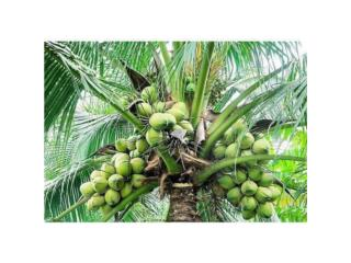 Palmas Filipinas de Cocos, Puerto Rico
