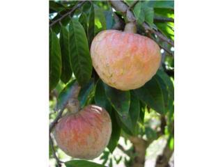 se venden arboles de corazon, chirimoya guanabana , Puerto Rico