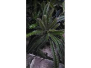 Plantas de Pitahaya $10, Puerto Rico