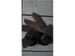 Plantas de Esponja Vegetal $3, Puerto Rico
