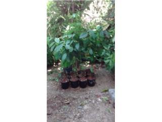 Arbolitos de aguacate, Puerto Rico