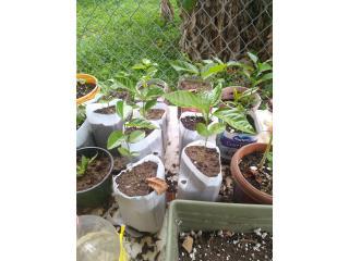 Plantas de parcha, Puerto Rico