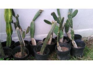 Plantas de Cactus $15, Puerto Rico