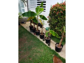 semillas de platanos, Puerto Rico