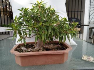Ficus Nerifolia, Puerto Rico