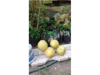 Arbolitos de toronja (pomelo) , Puerto Rico