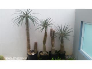 Palmas de Magadascar (tipo cactus), Puerto Rico