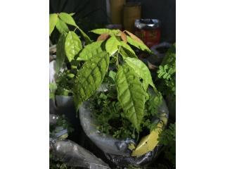 Árboles de fruta, Puerto Rico