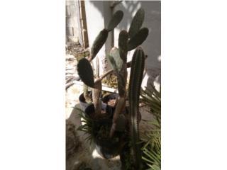 Cactus $15, Puerto Rico